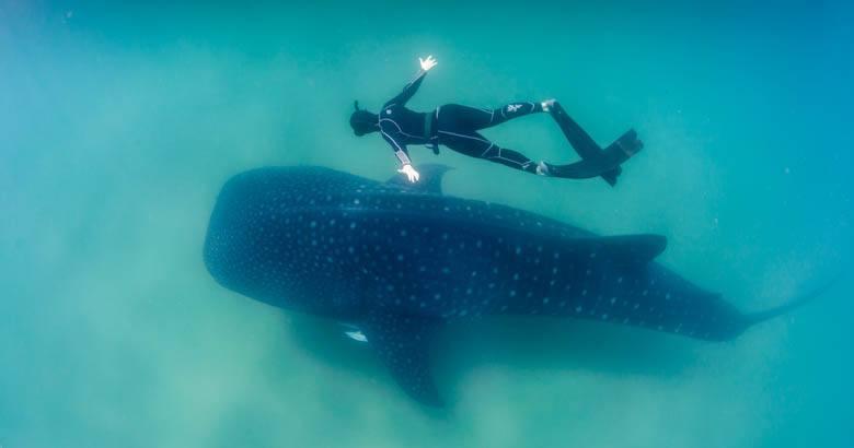 wild whale shark