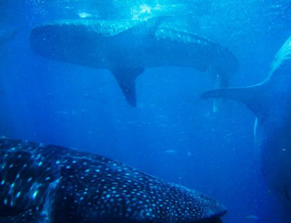 Why You shouldn't swim with Whale Sharks in Oslob