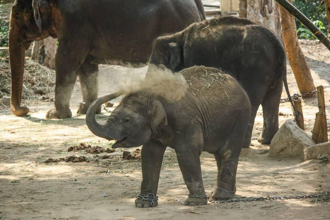 elephant chains