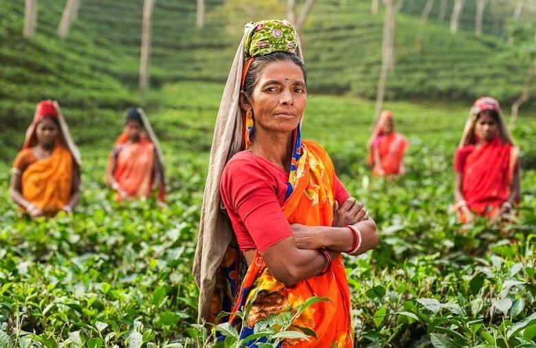 india tea plantation