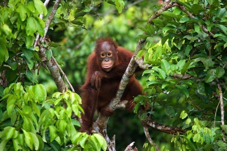 orangutang indonesien