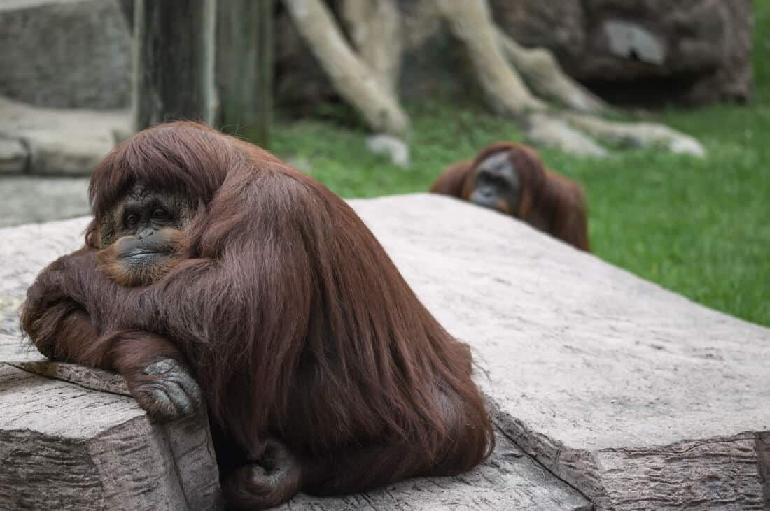 bored monkey at zoo