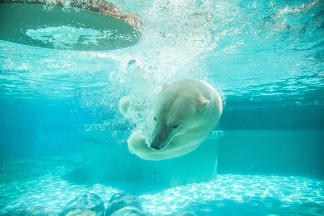 polar bear at zoo