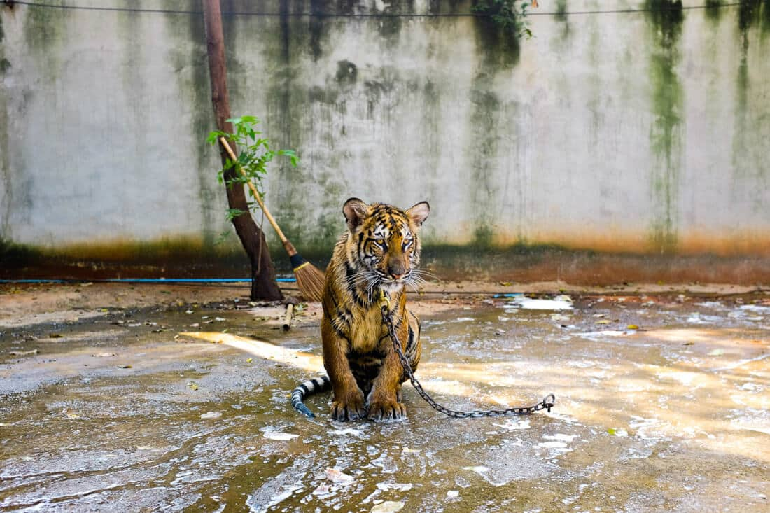 poor tiger in chains