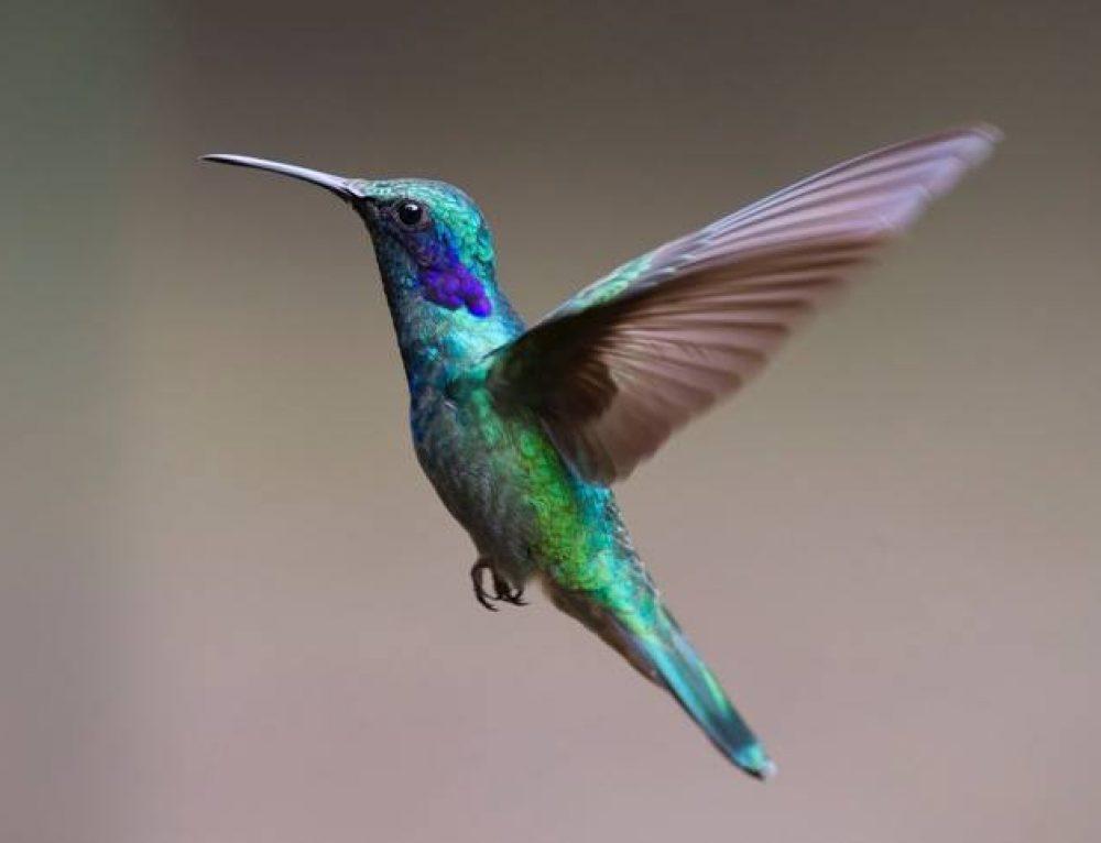 Fakta om Kolibrin – Den Snabba Lilla Fågeln!