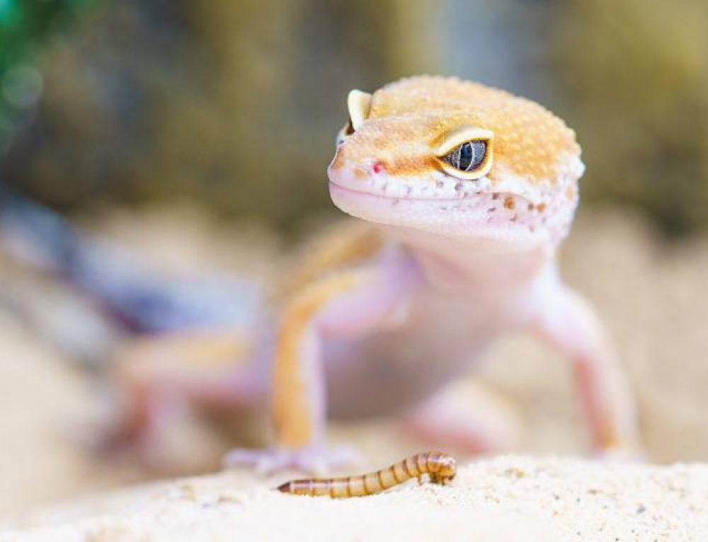 Fakta om Geckoödlan