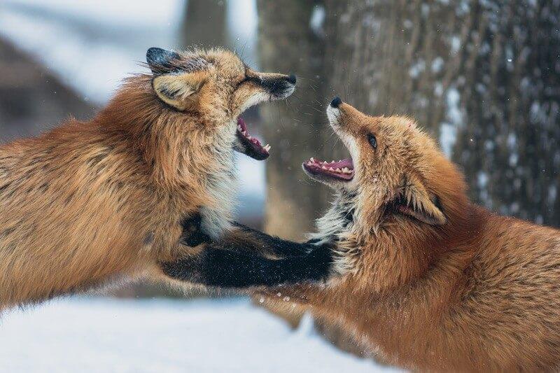 rävar som slåss