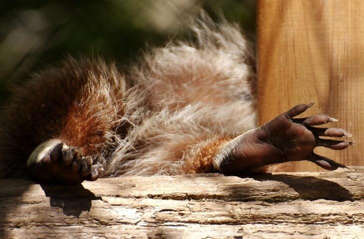 tvättbjörn fötter