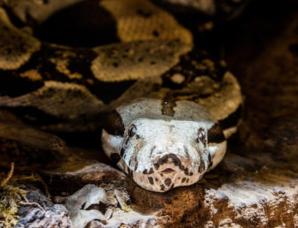 Fakta om Anakondan: En av Världens Största Ormar!