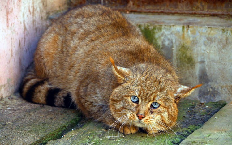 Chinese mountain cat