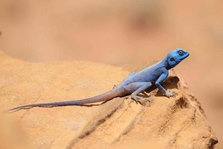 Sinai Agama Lizard