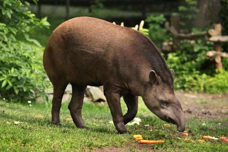 brazilian animals