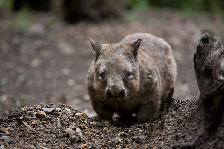 Hairy Nosed Wombat